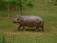 Hipopotamus gorgops