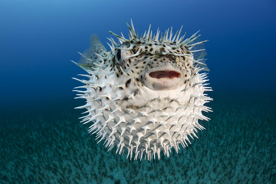 Image result for Porcupinefish