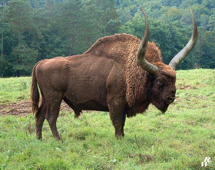 bison - photo #32