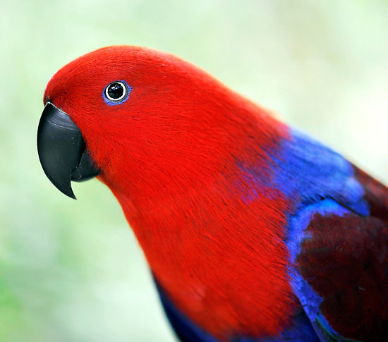 Eclectus Parrot Parrots Wiki Fandom Powered By Wikia