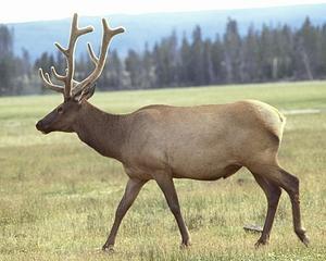 File:Elk4.jpg