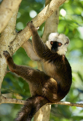 White-fronted lemur (male)