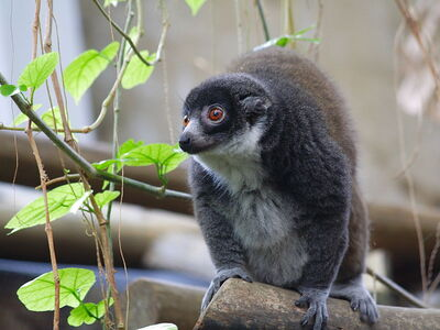 Curious Mongoose Lemur