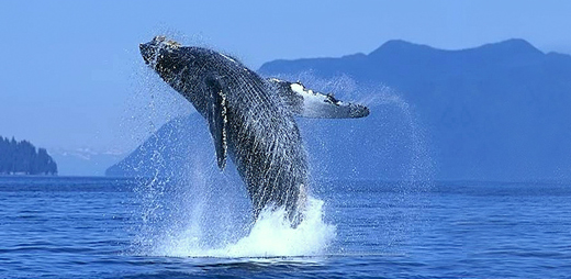 File:Whale leap in Santo Dominga de Semana.jpg