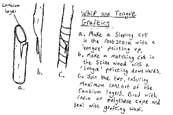 File:Whiptonguegraft.png