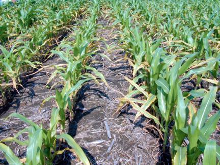 File:Potass deficiency corn leaves.jpg