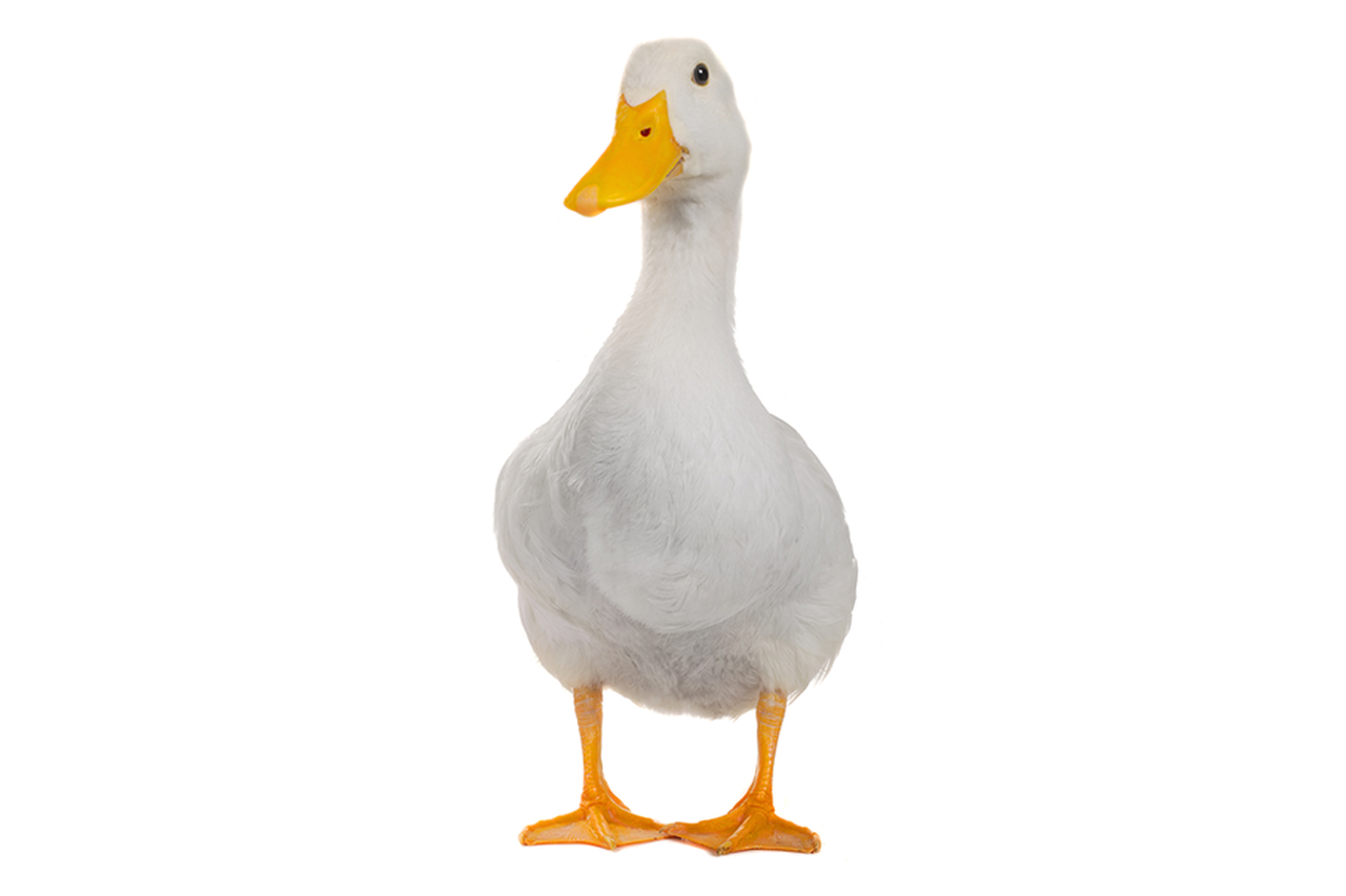 Image - Duck.png | Phobia Wiki | Fandom powered by Wikia