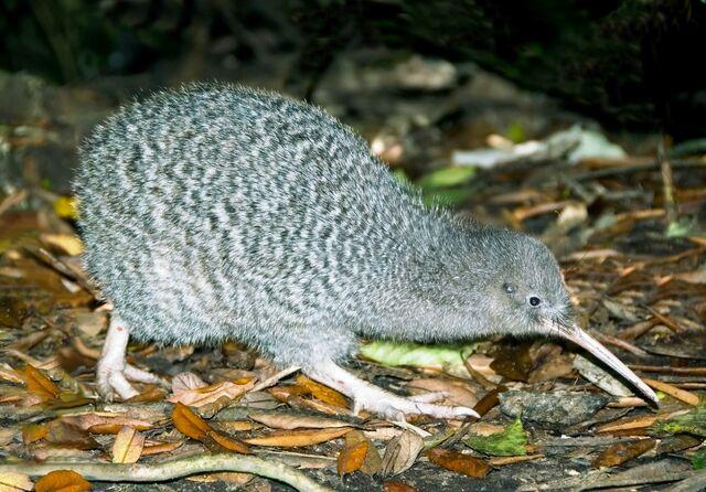 File:Little Spotted Kiwi.jpg