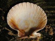 Bivalve chlamys opercularis queen scallop inside 21-01-06