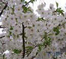 Prunus speciosa