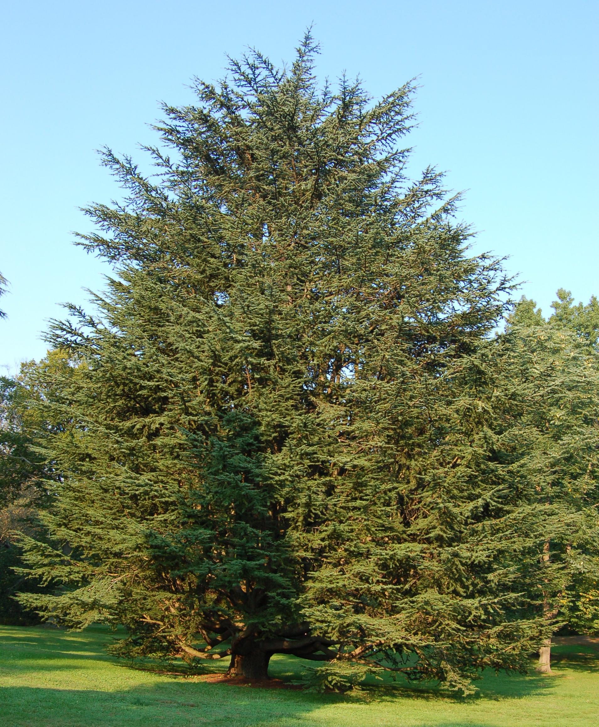 Red Cedar Tree Varieties ~ Cedrus atlantica plants wiki fandom powered by wikia