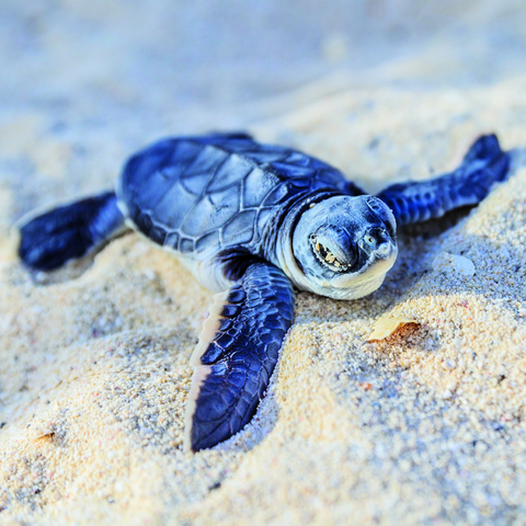 File:Blue turtle.png