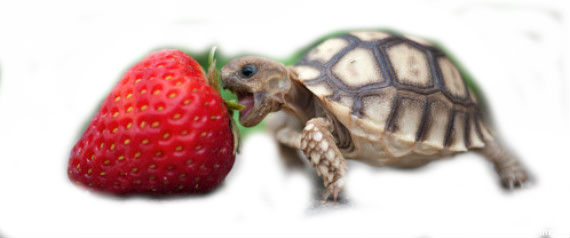 File:Turtle eat strawberry.jpg