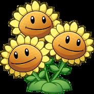 Three head sunflower close up