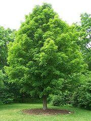 220px-Acer saccharum