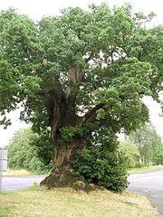 220px-Baginton oak tree july06
