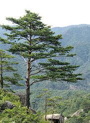 220px-Pinus densiflora Kumgangsan