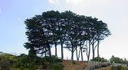 280px-Monterey Cypresses (Cupressus macrocarpa)