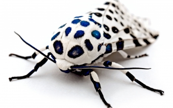 File:Blue Spotted Leopard Bug .jpg