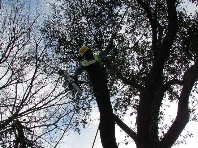 File:Dallas Tree Service - 214- 556-5079 - Dallas Tree Removal.jpeg