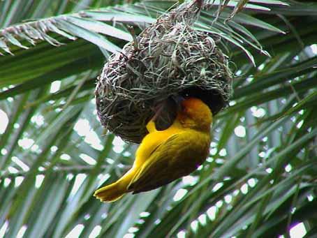 File:Weaver-bird.jpg