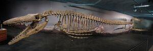 TylosaurusSkeleton
