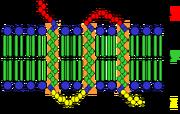 Transmembrane receptor