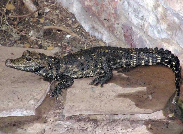 File:Bristol.zoo.westafrican.dwarf.croc.arp.jpg