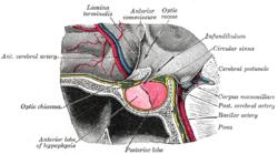 Grays pituitary