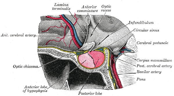 File:Grays pituitary.png