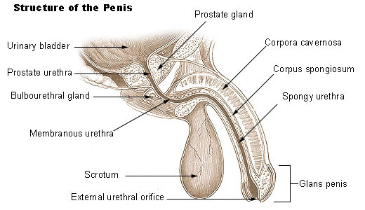 File:Illu penis.jpg