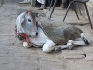 Surabhi Cow