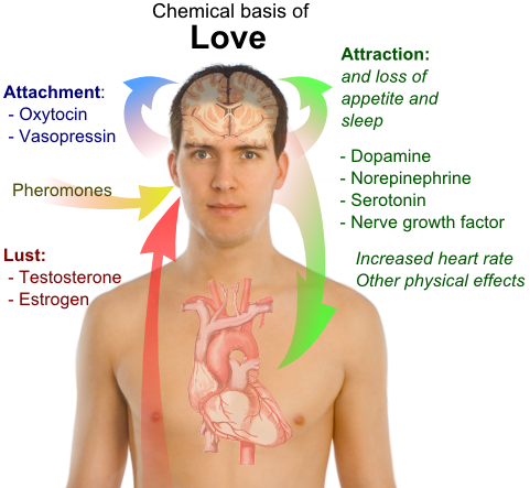 File:Chemical basis of love.png