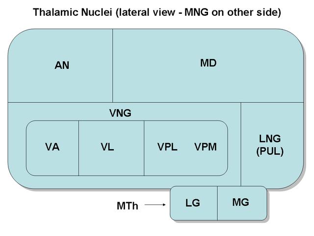 File:ThalamicNuclei.png