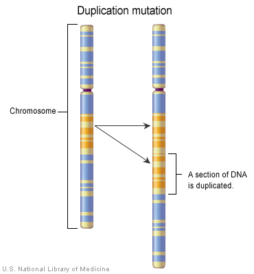 File:Chromosome duplication.jpg