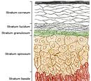 Stratum corneum