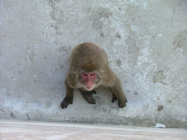 File:Macaque.jpg