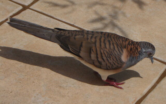 File:Bar shouldered dove.JPG
