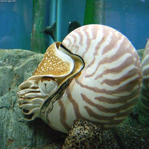 File:Nautilus.jpg
