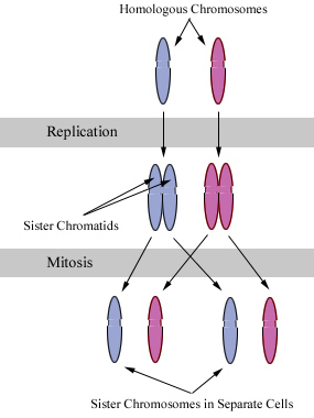 File:Chromosomes during mitosis.jpg