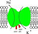 Na+/K+-ATPase