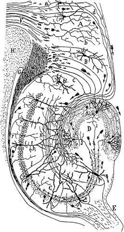File:CajalHippocampus.jpeg