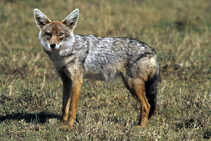 File:Golden Jackal sa02.jpg