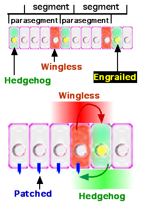 File:Wingless.png