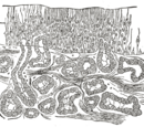 Olfactory epithelium