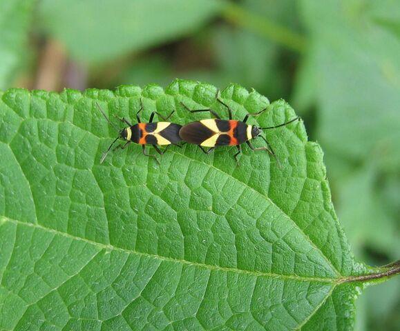 File:DirkvdM love-bugs.jpg
