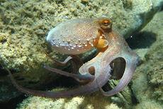 Octopus vulgaris2