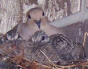 NestlingQuailAndMotherQuailCropped