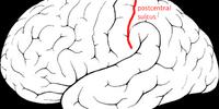 Postcentral sulcus