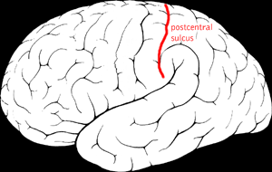 Postcentral sulcus